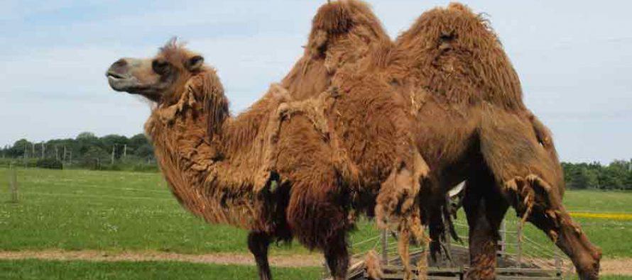 Frau in Edingen von Kamel gebissen