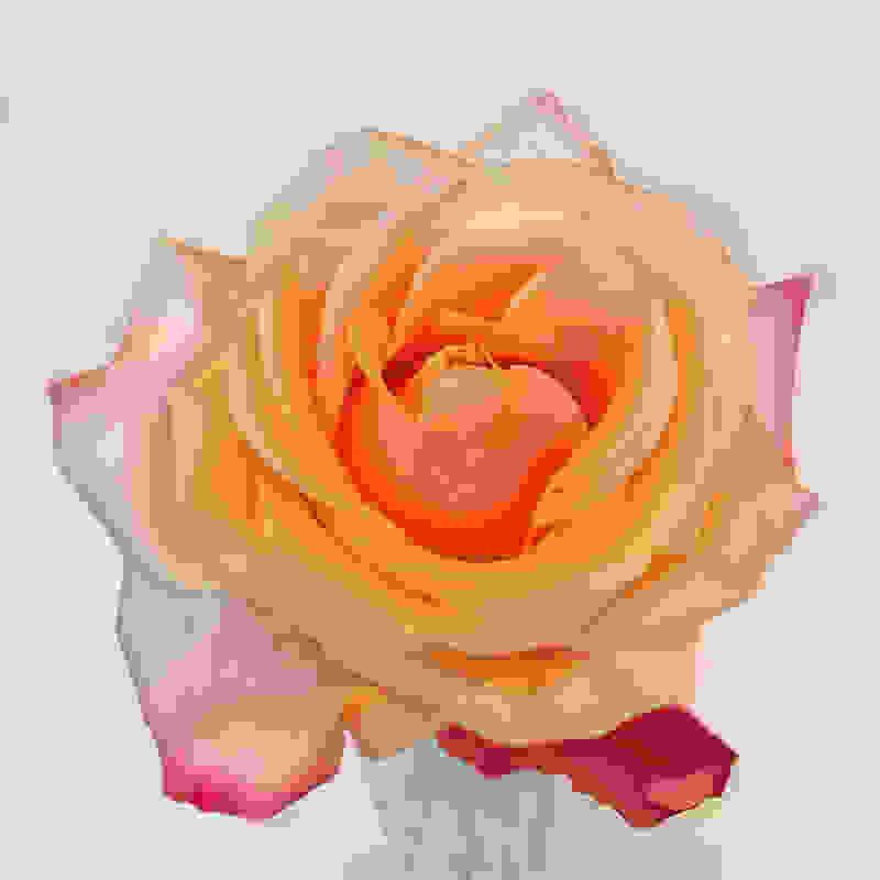 rose-1aff5