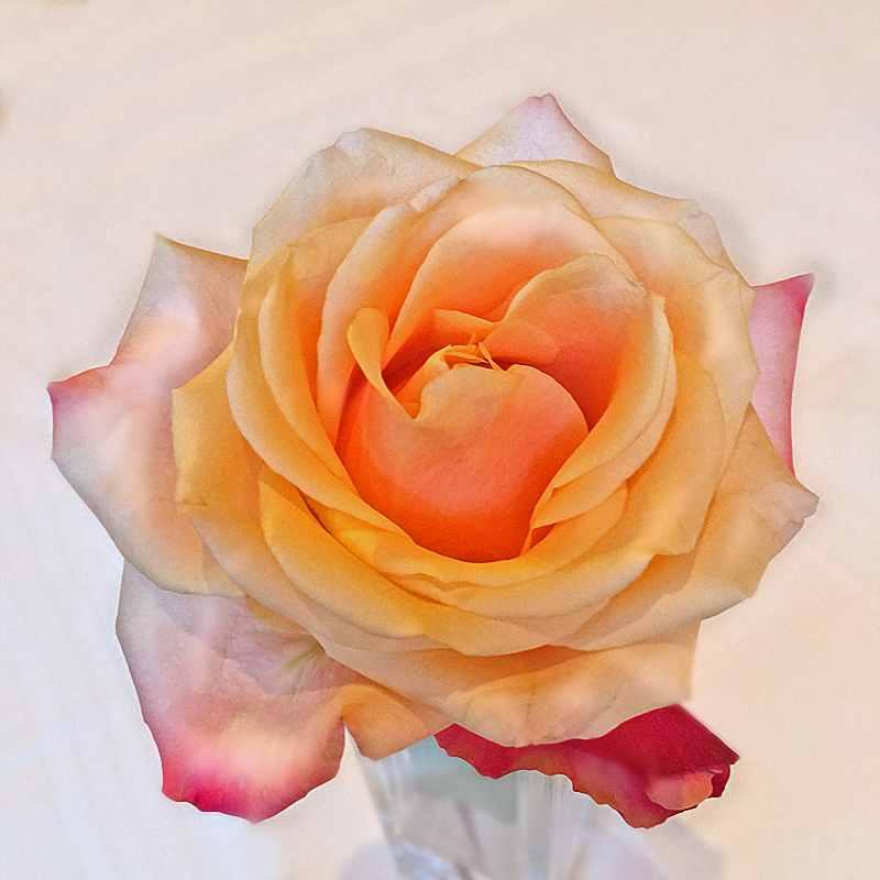 rose-1zoo