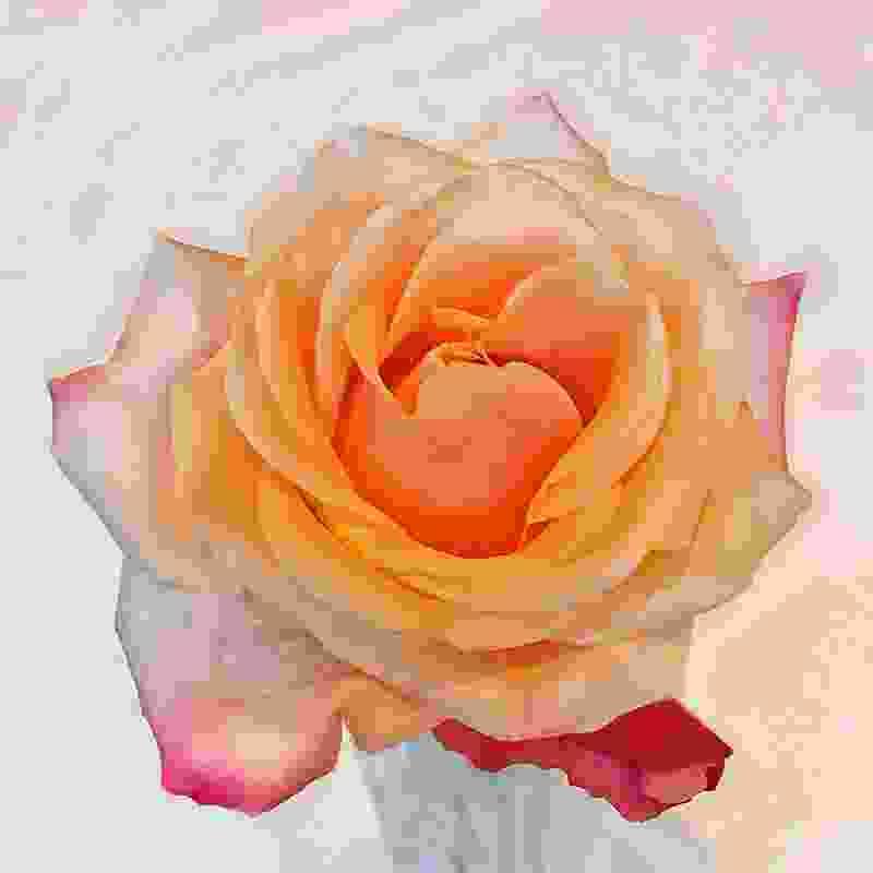 rose-1zoo5